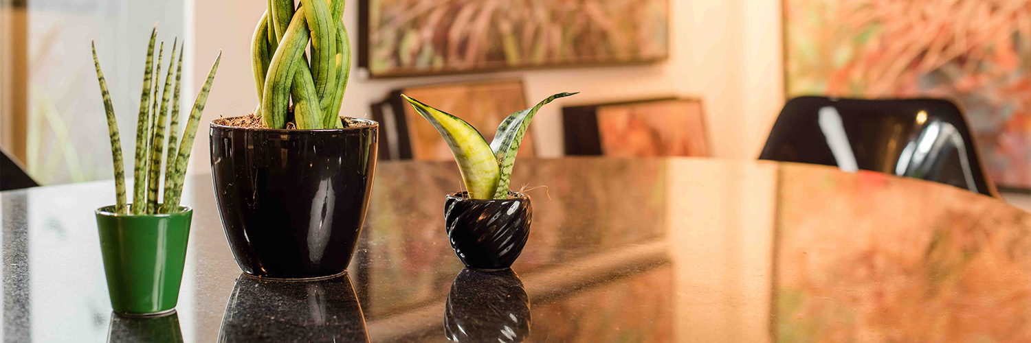 Sansevieria You and Me